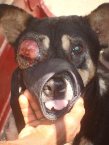Kato : A community dog at a market suffered from a bad venereal tumour
