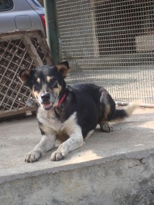 Kato : A community dog at a market suffered from a bad venereal tumour - cured!