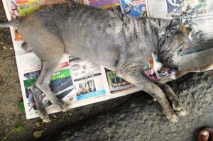 Dog 2 - before treatment